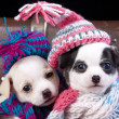 Stock Photo: Puppy wearing knit hat