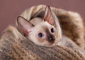 Cornish rex kitten — Stock Photo