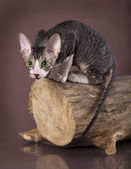 Cornish rex gatito — Foto de Stock
