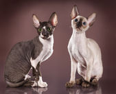 Cornish rex kitten — Stock Photo