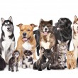 Stock Photo: Group of dogs and cats sitting in front of white backgrou