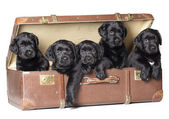 Labrador puppies — Stock Photo
