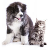 Akita inu  and kitten — Stock Photo