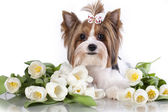Beaver york terrier and white tulips — Stock Photo