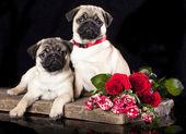 Cão pug — Foto Stock