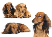 Miniature dachshund longhaired and dachshund — Stock Photo