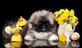Pekines puppy — Stock Photo