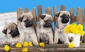 Pugs puppies and dandelions — Stock Photo
