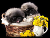 Pekinese puppies and dandelions — Stock Photo