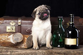 Portrait of Pug-dog against the background of bottles of liquor — Stock Photo