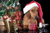 Dog dachshund  wearing a santa hat — Stock Photo