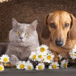 British kitten and dog red dachshund, cat and dog — Stock Photo