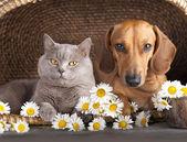 British kitten and dog red dachshund, cat and dog — Stock Photo