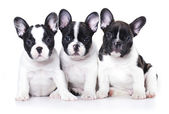 French bulldog puppy portrait on a white background — Stock Photo