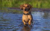 Dachshund runs through the shallows — Stock Photo