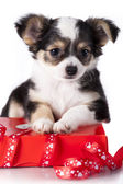 Puppy hua protects gift — Stock Photo