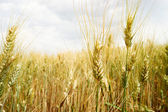 Corn landscape — ストック写真
