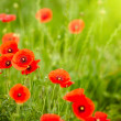 Field of poppies — Stock Photo