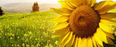 Krajobraz z słoneczniki w toskanii, włochy — Zdjęcie stockowe