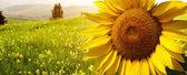 Landskap med solrosor i toscana, italien — Stockfoto