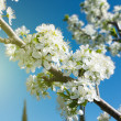 Flowers bloom on a branch of pear against blue sky - Stock Photo