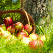 Stock Photo: Healthy Organic Apples in the Basket.
