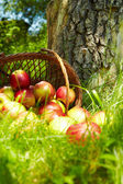 Healthy Organic Apples in the Basket. — Stock Photo