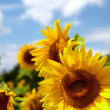 Beautiful landscape with sunflower field — Stock Photo #25233829
