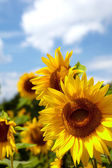 Beautiful landscape with sunflower field — Stock Photo