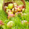 Healthy Organic Apples in the Basket. - Foto de Stock