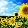 Beautiful landscape with sunflower field over cloudy blue sky an — Stock fotografie