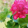 Geraniums flowers in garden — Stock Photo