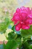 Geraniums bloemen in de tuin — Stockfoto