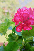 Geraniums flowers in garden — Stok fotoğraf
