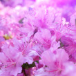 Flowers blooming. Beautiful pink blossom — Stock Photo #26023843