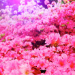 Stock Photo: Flowers blooming. Beautiful pink blossom