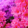 Flowers blooming. Beautiful pink blossom — Stock Photo #26023851