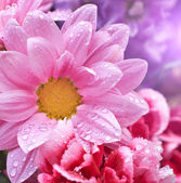 Pink daisies closeup — Stock Photo