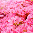 Flowers blooming. Beautiful pink blossom — Stock Photo #26228607