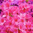 Flowers blooming. Beautiful pink blossom — Stock Photo
