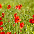 Stock Photo: Field of Corn Poppy Flowers Papaver rhoeas in Spring