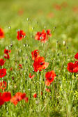 Field of Corn Poppy Flowers Papaver rhoeas in Spring — Stock Photo