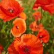 Field of  Poppy Flowers Papaver rhoeas in Spring — Stock Photo