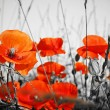 Stock Photo: Red poppies on BW field