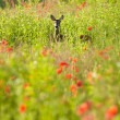 Landscape with field of red poppies and a Deer running — Stock Photo