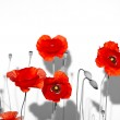 Field of beautiful red poppies isolated on white with shadow — Stock Photo #26862291