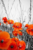 Red poppies on BW field — Stock Photo
