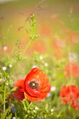 Red poppies with out of focus poppy field in background. — Stock Photo