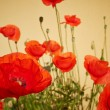 Spring Field of  Poppy Flowers — Stock Photo