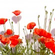 Isolated red poppies  — Stock Photo
